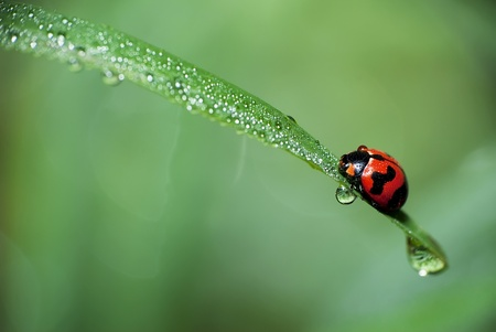 Beautiful Lady Bird with dew photo