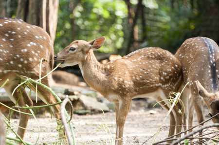 Juvenile Spotted Deer feeding beside his mother photo