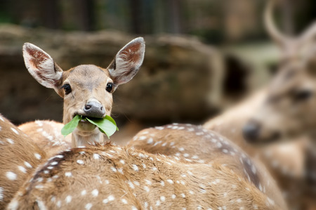 Juvenile Spotted Deer feeding with his colony photo