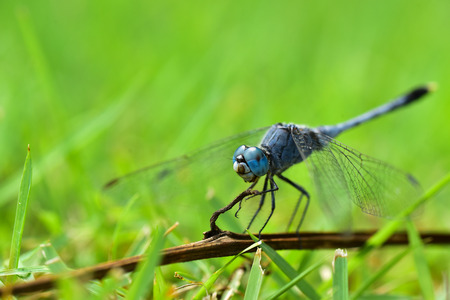 Close up fo Blue Dragonfly in the Garden