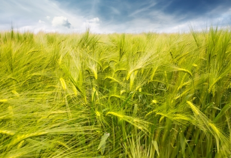Wheat field with blue sky  Stock Photo