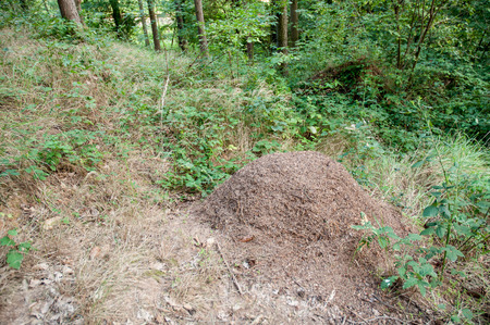 ameisenhaufen: gro�e Ameisenhaufen im Wald