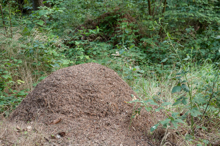 anthill: big anthill in the forrest
