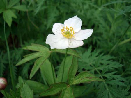Flor de la taiga de borde Foto de archivo - 4889986