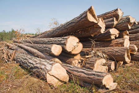 Srublennye trees on a sawmill photo