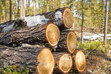 sawmill: Srublennye trees on a sawmill