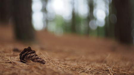 pine seed on the ground bokeh blur background