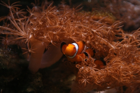 clown fish: Clown fish in Coral Stock Photo