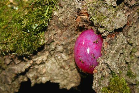cáncer del árbol con hormigas Foto de archivo - 4973505