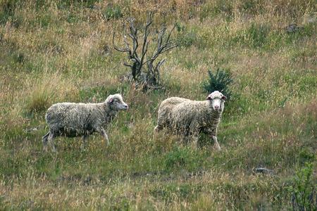 grazing: New Zeland goats grazing