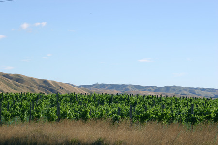 new zeland: New Zeland plantation of vines