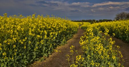 Field of rapeseed 写真素材