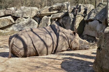a hornless rhino lies between the stones