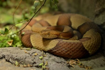 a poisonous snake in a terrarium is waiting for food Stock Photo