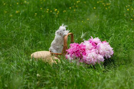Fluffy white rabbit in wicker basket with pink peonies and straw hat in the middle of a lawn with green grass in the park on a sunny day