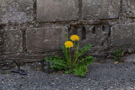 dandelion grew in the asphalt near the brick wall closeup