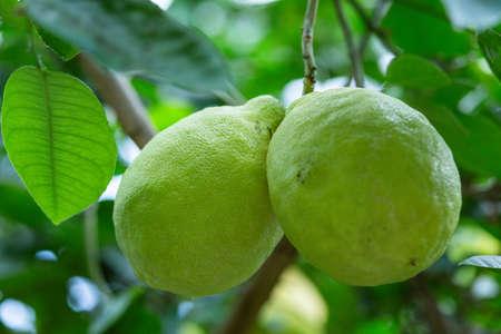 big green lemon on a branch close up