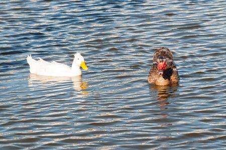 Ducks swimming on the lake Stock Photo