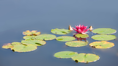 Waterlily in garden pond with leaf Stock Photo