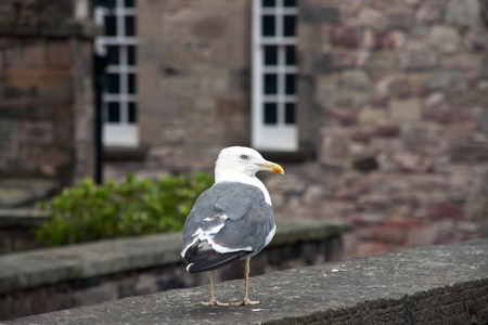 palmate: Sea gull on a bricked wall in england