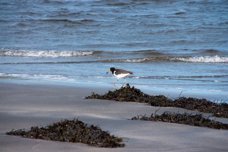 country roads: beach of islae of sky with oystercatcher