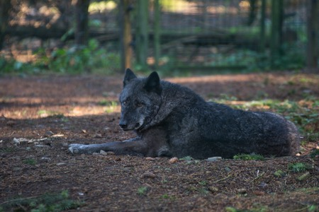 Timber wolf (Canis lupus) in autumn Stock Photo