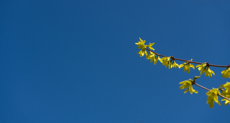 Yellow forsythie in the spring with blue sky