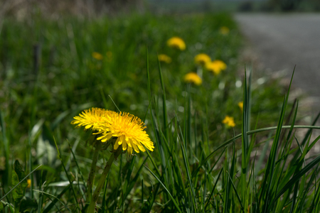 Closeup of dandelion flower Taraxacum in spring at the german Rothaargebirge Stock Photo