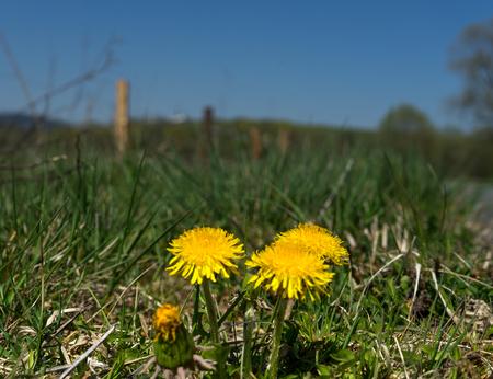 Closeup of dandelion flower Taraxacum