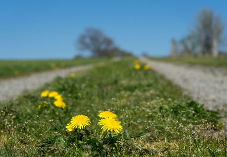 Closeup of dandelion flower with path in the background Stock Photo
