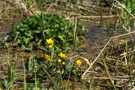 Waldsteinia ternata flower in tiny creek at spring time Stock Photo