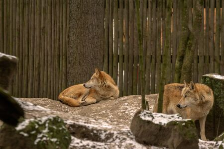 Two wolves laying arround and looking