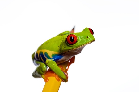 red eyed tree frog on a pencil photo