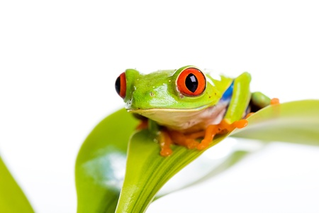 grenouille: Grenouille aux yeux rouges