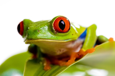 Red Eyed Tree Frog Stockfoto