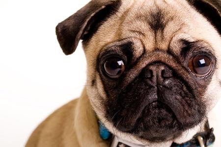 Cute Pug photo