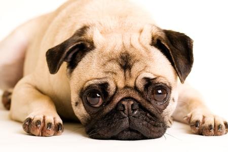 敷設悲しいパグ子犬犬