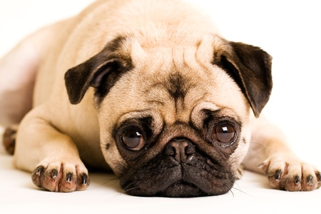 pure bred: A sad Pug puppy dog laying down
