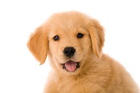 愛らしいゴールデン ・ リトリーバーの子犬 写真素材 - 9779696
