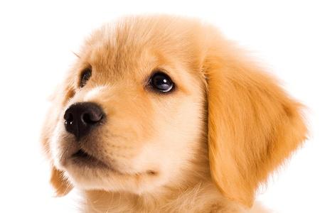 Gouden Retriever pup Stockfoto - 9919836