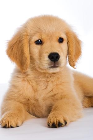 골든 리트리버 강아지 스톡 콘텐츠 - 10026061