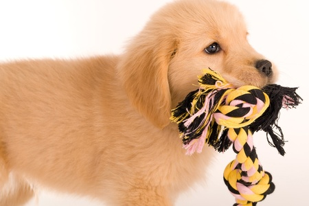 Puppy carrying a toy rope photo