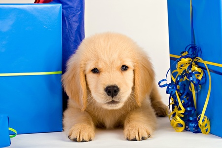 Puppy as a present