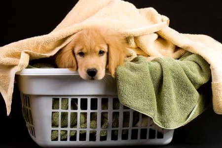 Soft Golden Retriever Puppy Hond in een wasmand van handdoeken