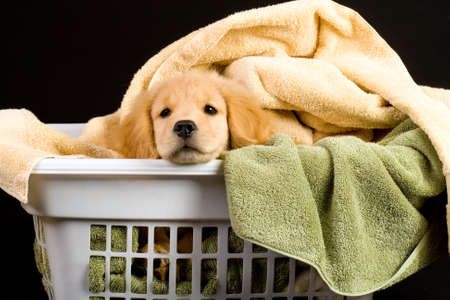 Soft Golden Retriever Puppy Dog in a linen basket of towels photo