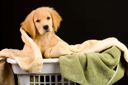 Soft Golden Retriever Puppy Dog in a linen basket of towels