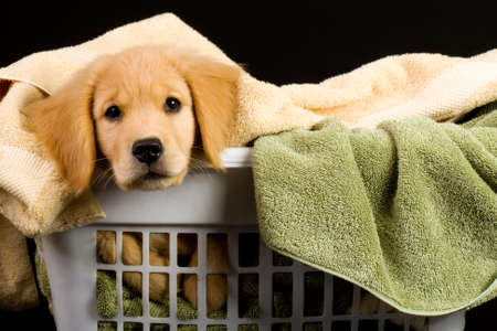small basket: Soft Golden Retriever Puppy Dog in a linen basket of towels Stock Photo