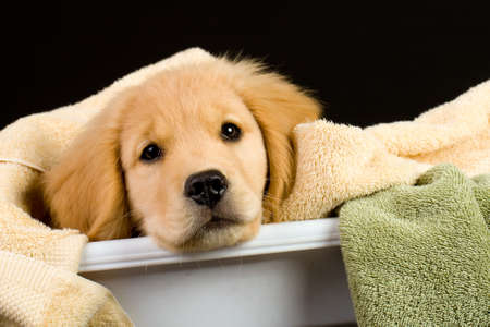 Soft Golden Retriever Puppy Dog in a linen basket of towels Stock Photo