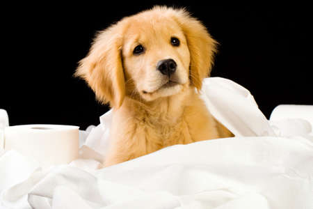 toilet: cute, soft puppy in a pile of toilet paper Stock Photo