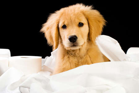 toilet roll: cute, soft puppy in a pile of toilet paper Stock Photo